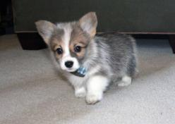 ah reminds me of Tucker when he was a baby :): Corgis, Baby Corgi, Adorable Animals, Color, Corgi Puppies, Puppys, Corgi Baby, Cute Dogs