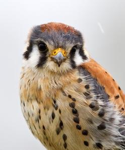 American Kestrel: Animals, Sweet, American Kestrel, Birdie, Pretty Birds, Beautiful Birds, Baby