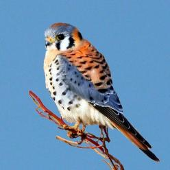 american kestrel pictures | An American Kestrel enjoying the view about 8 miles west of Guymon ...: American Kestrel Jpg 480 480, Bartlesville Oklahoma, American Kestrel 1, American Kestel, Birds American, Prey