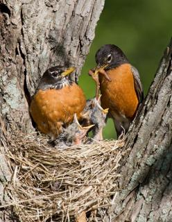 American Robin or North American Robin (Turdus migratorius) parents feeding young, is a migratory songbird of the thrush family. The American Robin is widely distributed throughout North America, wintering south of Canada from Florida to central Mexico an