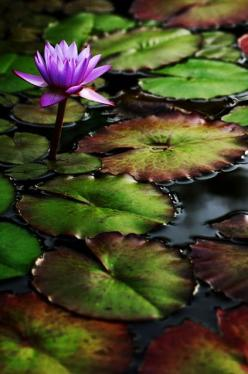 andyouwhisperyouloveme:    Water Lilly  © James Bitz. Flower stands out with its vivid colours amongst the dark lily pad and attracts all the attention: Nature, Purple, Art, Gardens, Beautiful Flowers, Photo, Water Lilies, Lotus Flower