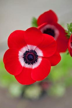 Anemone coronaria De Caen. The bold colours of this anemone are absolutely fabulous: Nature, Caen, Red Flowers, Beautiful Flowers, Garden, Photo, Anemones