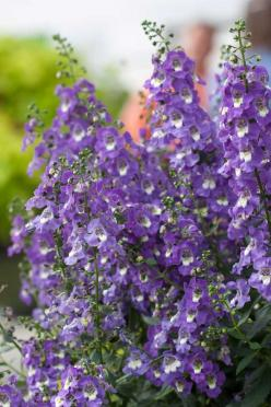 Angelonia - it's drought tollerant, it flowers all season, it loves deep shade and deer won't eat it. Plant care info is on the post - via Everyday Gardeners: Shade Evergreen, Annual Flowers, Shade Garden, Annual Plants, Impossible Plants, Annuals Flo