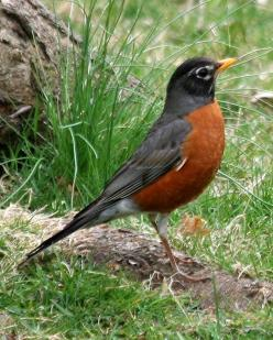 Animal of the day - 07/15/2010 - American Robin: Red Robin, Backyard Birds, American Robin, Robins, Beautiful Birds, Spring