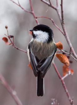 animals-plus-nature:      Chickadee by Heidi Schuyt Photography on Flickr.: Birds Chickadee, Beautiful Birds, Animals Nature, Favorite Bird, Birds Feathers, Feathers Friends
