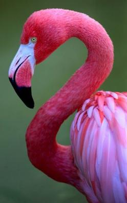 Another one of God's awesomely beautiful creations, which showcase the brilliant colours only He could create.: Things Pink, Pink Flamingos, Color, Beautiful Birds, Pink Bird, Animal
