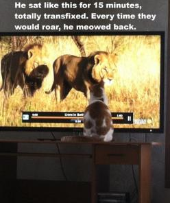 Answering the Call of the Wild. My cat was fascinated by a lion show too. It was awesome.: Cats, Animals, Funny, Crazy Cat, Humor, Funnies, Kitty, Cat Lady
