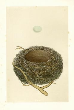 antique+bird+nest+and+egg+print.jpg 575×853 pixels: Scientific Illustration, Birdnests