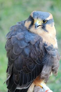 Aplomado Falcon. Yellow feather near head, small bit on chest. Black, grey and blue feather on wings and yellow talons. Yellow eyes with giant round pupils.: Falcon Birds, Eagle, Birds Falcons, Prey, Beautiful Birds, Animals Birds, Birds Raptors