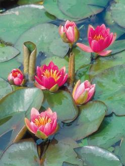 Aquatic Plants in Have a Whirlwind Romance With Country Style from HGTV: Lily Pond, Lotus Flowers, Waterlilies, Small Ponds, Water Lily, Water Garden, Water Lilies