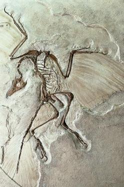 Archaeopteryx Berlin specimen is considered the most famous fossil in the world. It is about 150 Ma & was discovered in limestone deposits in Eichstaett, Bavaria. Archaeopteryx has bird flight feathers, but also has reptile features such as a tail bon