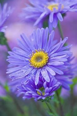 ~~Aster amellus 'grunder' - michaelmas daisy by Ciive Nichols~~: Blue Flowers, Daisies Flowers, Nature, Flowers Plants, Beautiful Flowers, Amellus Grunder, Garden, Colorful Roses