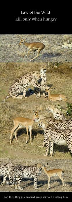 Aww  ♥  What we could learn from animals if we didn't think we were so superior to them.: Cheetah, Big Cats, Sweet, Animal Kingdom, Wild Animals Funny, Animal Friends, Baby, Amazing Animals, Awesome Animals