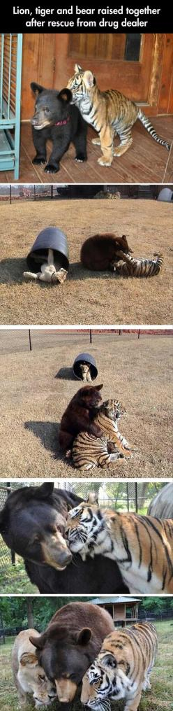 awww: Animals, Drug Dealer, Bears Oh, Sweet, Best Friends, Bear Raised, Tiger Bear
