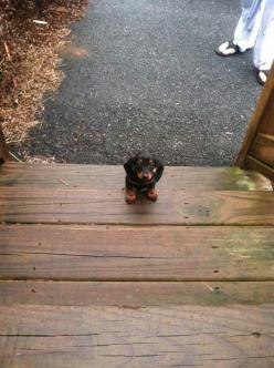 Awwww... Umm can I have a little help here? anyone!: Weenie Dog, Pet Dogs, Sausage Dogs, Puppy, Doxie Puppies, Pets Dogs Puppies, Animal, Make Me Smile
