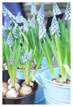 Baby blue bulbs: Bulbs Myvalentinewishlist, Bulbous Indors, Bulbs Sharethelove, Bulb Flowers, Blue Bulbs, Baby Blues