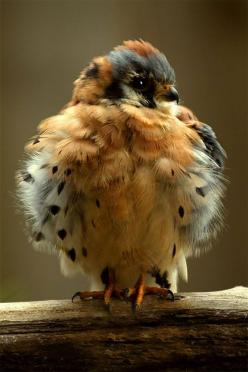 Baby Hawk ~ American Kestrel - Wikipedia, the free encyclopedia... The American Kestrel (Falco sparverius), sometimes colloquially known as the SparrowHawk, is a small falcon, and the only kestrel found in the Americas.✯: Babies, Animals, Baby Hawk, Ameri
