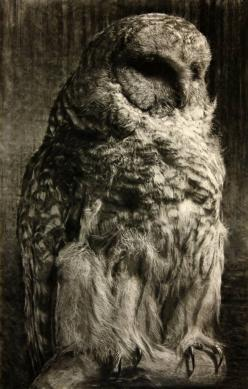 Barred Owl I: 2014, Animals Owls, Owls But, Art, Barred Owl, Owls 3, Owls Owlsome