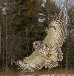 Barred Owl Wing Flare by Nature's Photo Adventures - David G Hemmings, via Flickr: Photos, Nature, Wing Flare, Barred Owl, Birds, Owls, Owl Wing, Animal