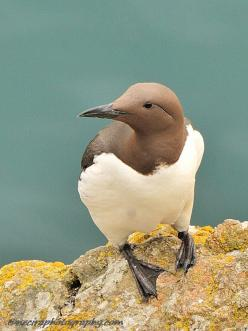 Beautiful bird, but really, how wonderful is that soft cocoa (bird's head) combined with dull green-turquoise plus creamy white?  Wonderful guest room colors.    orig. post: Guillemot on Skomer Island - British Wildlife.: Fowl, British Wildlife, Islan