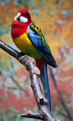 Beautiful Bird, China   ...........click here to find out more     http://googydog.com: Birds Birds, Google, Poultry, Rosella Bird, Beautiful Birds, Eastern Rosella, Animal