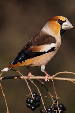 Beautiful bird, the Hawfinch (Coccothraustes coccothraustes): Colorful Birds, Temperate Asia, Birdie, Aves Birds, Beautiful Birds, Animal