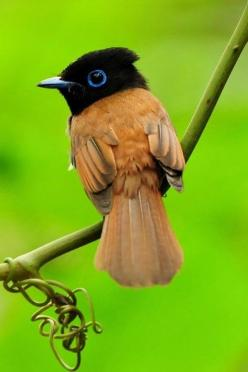 Beautiful Birds In the World, Asian Paradise Flycatcher: Birds Birds, Animals, Nature, Birdie, 10 Photos, Beautiful Birds