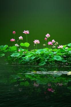 Beautiful: Lotus Flowers, Green, Beautiful Flowers, Nature S, Water Lily, Flowers Garden, Water Garden, Water Lilies