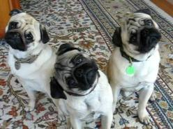 Because we know you've always wondered :) http://www.buzzfeed.com/chelseamarshall/what-kind-of-dog-are-you#.tv0eRYYnPB: Cute Puppies Pugs, Animals Dogs, Head Tilt, Pets, Dogs Pugs, Chihuahua, Mutt, Pug Head