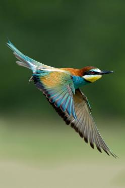 Bee Eater Bird in flight The White-throated Bee-eater is a near passerine bird in the bee-eater family Meropidae. It breeds in semi-desert along the southern edge of the Sahara, Africa.: Animals, Max Rinaldi, Beautiful Birds, The Moon, Birds In Flight