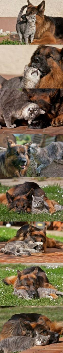 Best friends forever...: Animals, Sweet, Best Friends, Dogs And Cats, Pet, Bff, Friendship, German Shepherds, Cats And Dogs