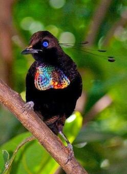 Bird of Paradise- JUST LOOK AT THESE BEAUTIFUL FEATHERS !!! THE FEATHERS LOOK LIKE SEQUINS - AWESOME !!: Animals, Nature, Birdie, Parotia Bird, Beautiful Birds, Bird Of Paradise, Ave