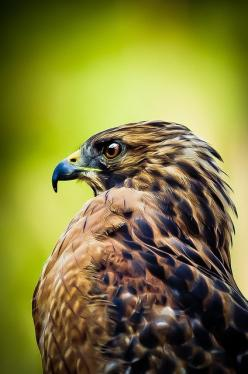 Bird of Prey                                                               ツ Alberto Mateo,: Birds Of Prey, Animals, Eagle, Wild Life, Birdsofprey Birdofprey, Beautiful Birds, Birdsof Prey