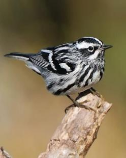 Black & White Warbler-this guy is one of my ALL TIME FAVORITES!!!: Ink Drawing, White Warbler This, Warbler This Guy, Black And White Animals, Birdie, Black And White Birds, Beautiful Birds