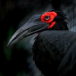 Black and Red bird. #blackandred #bird http://www.pinterest.com/TheHitman14/black-and-red/: Animals, Color, Posts, Beautiful Birds, Photo
