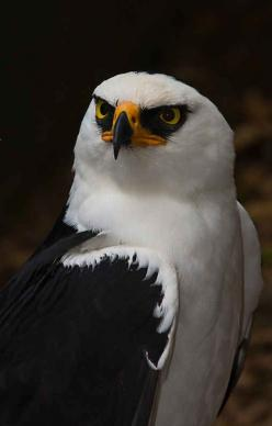 Black and white Hawk Eagle - Raptor - Predator: Black And White, Raptor, Beautiful Birds, Eagles, Animal
