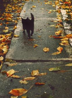 black cat strutting on leaf strewn sidewalk: Animals, Autumn Leaves, Black Cats, Fall, Blackcats, Kitty, Halloween