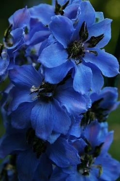 Black Knight Delphinium. I so wish they would grow here- the blues are just fabulous! I did grow a few in FL as winter annuals, but in NC it's too cold in the winter & they die as fast as tulips once it gets warm at all.: Blue Flowers, Knights, Bl