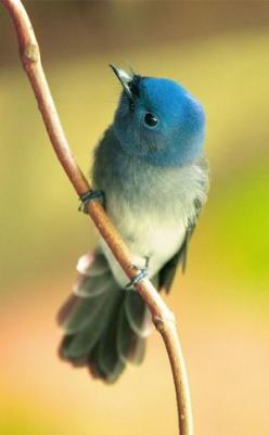 Black-Naped Blue Flycatcher, Taipei Botanical Garden, Taiwan, John&Fish: Black Naped Blue, Beautiful Birds, Animal