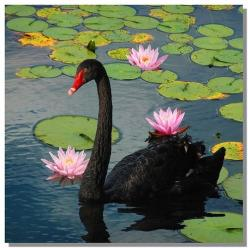 Black Swan....too amazing... we live on this planet with such a Beauty!!! Omg!: Black Swan Bird, Waterfowl Geese Swans, Black Swans So, Black Swan Too, Swan Too Amazing, Birds Swans, Animal