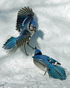 blue jays-beautiful shot against the white snow: Winter, Bluejays Cardinals, Wings, Snow, Blue Jays, Birds Blue Birds, Beautiful Birds, Amazing Birds