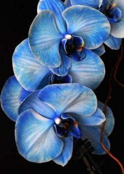 blue mystique orchid: Blue Orchids, Blue Flowers, Beautiful Blues, Color, Beautiful Flowers, Garden, Pretty