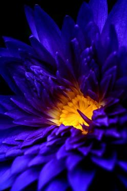 Blue Water Lily: Blue Flowers, Color Blue, Country Kitchen, Beautiful Flowers, Blue Water, Water Lily, Water Lilies
