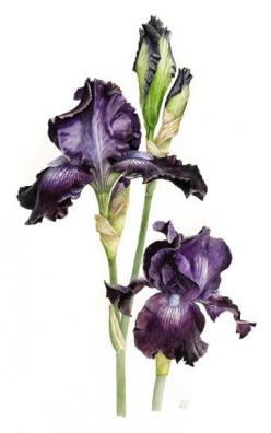 Botanical Drawings | botanic art sits at an interface between art and science although the ...: Botanical Illustration, Botanical Drawings, Art Botanical, Iris, Botanical Art, Painting, Art Sits, Floral Art
