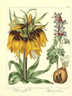 botanicals Fritillaria (Crown Imperial) and Fumaria. They used to combine more than one plant on a page to save space.: Botanical Illustrations, Art Botanical, 1812, Flower Illustrations, Gardens, Botanical Art, Photo