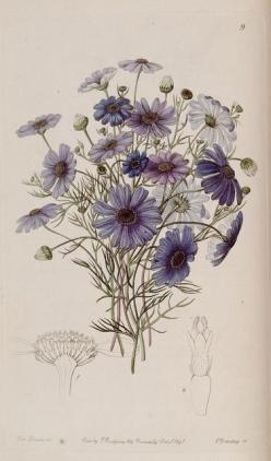Brachycome iberidifolia Cass. Swan river daisy. Edwards's botanical register. London: James Ridgway,1829-1847: Botanical Flower, Botany, Botanical Illustrations, Photo Sharing, Botanical Drawing