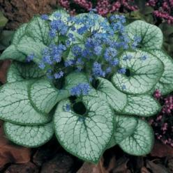 "Brunnera ""Jack Frost"" - brightens up the shady areas with almost neon bright blue flowers and amazing white foliage. I only have one of these, but plan on many more. A top perrenial for me!: Garden Perennial, Shady Area, Shade Plant, Blue Flowers,"