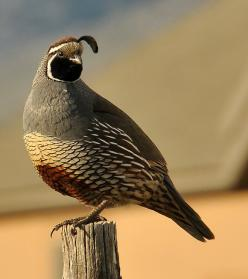 California Quail.  They were originally found mainly in the southwestern United States but they have been introduced into other areas including British Columbia, Hawaii, Chile, New Zealand, and to Norfolk Island and King Island in Australia.: Desert Regio