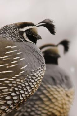 California Quail watching guard as the rest of the covey eat. by eaross submitted by earth-song: Nature, Creature, Autumn Green, Beautiful Birds, Quails, Animal
