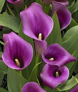 Calla Lilies: Flowers Plants, Beautiful Flowers, Calla Lilies My, Purple Calla Lilies, Garden, Calla Lily, Calla Lillies, Favorite Flower